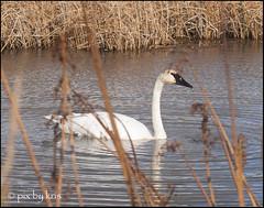 Swans 003 2017 (pixbykris) Tags: alaska alaskan birds swans beautiful
