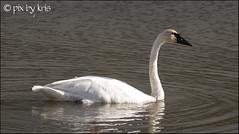 Swans 002 2017 (pixbykris) Tags: alaska alaskan birds swans beautiful