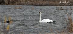 Swans 001 2017 (pixbykris) Tags: alaska alaskan birds swans beautiful