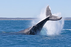 Humpback Whale 008 (DMT@YLOR) Tags: ocean water waves tail pacificocean whale humpbackwhale blue beach sand fraserisland herveybay australia queensland aussie nature outside outdoors wildlife big huge