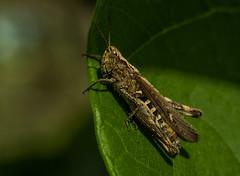 Chorthippus (stempel*) Tags: polska poland polen polonia gambezia pentax k30 grasshopper owad insect macro makro