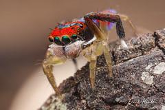 Male Maratus splendens. (F.Hendre) Tags: maratus maratussplendens jumpingspider salticidae spider arachnid macro stack ngc