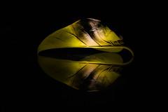 Darkness got nothing on me... (EchoOfSam) Tags: dark leaf yellow darkphotography darkbackground light dying nature life beautiful closeup