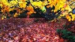 L'autunno in giardino (Luc1659) Tags: autumn foglie garden yellow brown leaves
