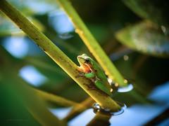 Wet home (Petra Ries Images) Tags: kodakanastigmat63mmf27 frog frosch amphibien wasser water teich pond green grün manualfocus manuallens kodak nature natur nahaufnahme closeup vintagelens adaptedlens australia