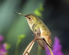 Selasphorus Hummingbird in San Diego (Ruby 2417) Tags: selasphorus hummingbird bird wildlife nature purple orange green balboa park san diego antifavorite