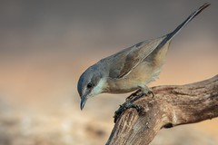 Lesser Whitethroat (Phil Gower Bird Photography) Tags: lesser whitethroat warbler bird