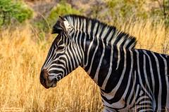 The Punk (Zebra) (Johann (Still Me!)) Tags: zebra sebra pilanesberg makemesmile johanndejager ef100400mmf4556lisusm canoneos7dmarkii punk simplysuperb