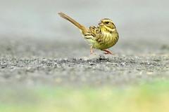黑臉鵐 Black-faced Bunting (UG Tsai) Tags: birds animal 鳥 動物