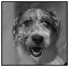 Tasca_SAF0833-3 (sara97) Tags: canine copyright©2019saraannefinke dog missouri pet petportrait photobysaraannefinke saintlouis tasca monochrome bw blackandwhite blackwhite