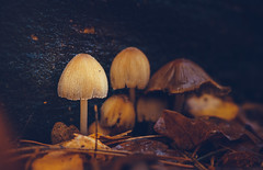 Mushrooms (Dhina A) Tags: sony a7rii ilce7rm2 a7r2 a7r 135mm f28 t45 stf sony135mmf28stf sal135f28 smoothtransitionfocus minolta smooth soft silky bokeh bokehlicious apodization mushrooms