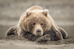 ... Vogue ... (Grandpops Woodlice) Tags: alaska cookinlet brownbear silversalmoncreek beach