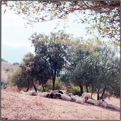O Bella Ciao_Rolleiflex 3.5B (ksadjina) Tags: 6x6 c41 italia kodakektar100 nikonsupercoolscan9000ed orgosolo rolleiflex35b sardegna silverfast analog film scan sheep