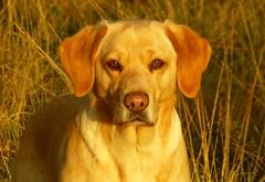 Sunshine Pose..x (Lisa@Lethen) Tags: sunshine autumn dog pet labrador yellow golden grasses field walk