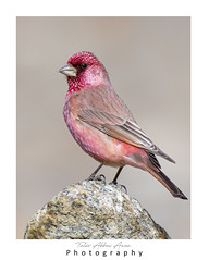 Great Rosefinch (Carpodacus rubicilla) (T@hir'S Photography) Tags: animal animalwildlife asia autumn awe bird branchplantpart brown climate colors day eating feather females finch forest freedom fruit gilgit gilgitbaltistan greencolor horizontal housefinch hunzariver hunzavalley imitation lake lakebogoria nature oneperson outdoors outerspace pakistan people photography pinkcolor plant red resting roseflower scenicsnature sideview sitting speed thailand travel tropicalclimate