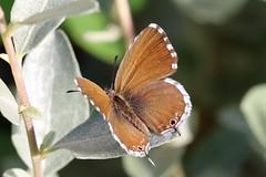 Cacyreus marshalli (m) (Roy Lowry) Tags: cacyreusmarshalli geraniumbronze stjulians stjuliansbay
