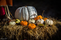 Happy Thanksgiving! (Irina1010) Tags: pumpkins vegetable food orange white hay straws arrangement autumn thanksgiving rustic nature canon light coth coth5 stilllife