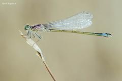 Caballito del diablo (Raul Espino) Tags: 2019 canon100mml canon6dmarkii macro macrofotografia natural naturaleza sevilla insectos caballitodeldiablo canon