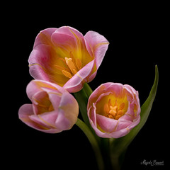 Tulips (Magda Banach) Tags: nikond850 blackbackground bouquet buds colors flora flower flowers green macro multicolored nature pink plants tulip tulips yellow