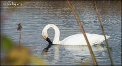 Swans 012 2017 (pixbykris) Tags: alaska alaskan birds swans beautiful