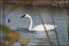 Swans 010 2017 (pixbykris) Tags: alaska alaskan birds swans beautiful