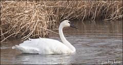 Swans 007 2017 filtered (pixbykris) Tags: alaska alaskan birds swans beautiful