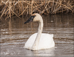 Swans 005 2017 (pixbykris) Tags: alaska alaskan birds swans beautiful