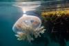 Jelly Fish-5
