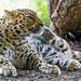 Leopard grooming with hind paw