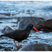oystercatcher - blue hour