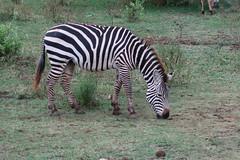 2019-101337 (bubbahop) Tags: 2019 africatrip gadventures tanzania lakemanyara national park safari part2 animal zebra