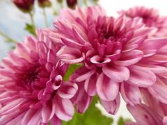 Χρυσάνθεμα!!  P1090751 (amalia_mar) Tags: chrysanthemums flowers flora fiori fleurs autumn garden pink sundaylights closeup