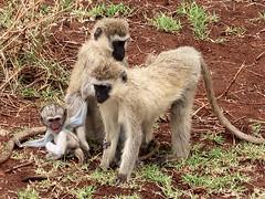 2019-101336 (bubbahop) Tags: 2019 africatrip gadventures tanzania lakemanyara national park safari part2 animal monkey baby