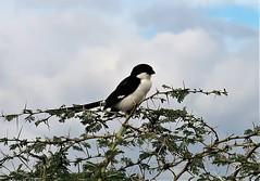 2019-101334 (bubbahop) Tags: 2019 africatrip gadventures tanzania lakemanyara national park safari part2 animal fiscalshrike bird