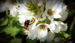 A Dancing Bumblebee (Lani Elliott) Tags: bug bee bumblebee insect garden homegarden flowers flower starofbethlehem ornithogalum white light bright petals macro macrounlimited bokeh upclose closeup twofer whiteflowers