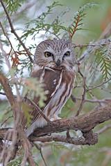 Petite nyctale (richardboucher1) Tags: hibou strigidé oiseaux birds rapace owls