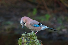 Jay (microwyred) Tags: jay forestwoods animalsinthewild nature birds oneanimal animal birdwatching blue feather wildlife tree beak forest bird outdoors closeup passerinebird animaleye abstracts perching branch