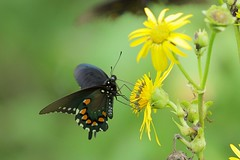 Spicebush Swallowtail Butterfly (mnolen2) Tags: wildlife insect nature flower cupplant butterfly swallowtail spicebush
