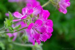 La terra ride nei fiori. - The earth laughs in flowers. (Eugenio GV Costa) Tags: approvato macro fiori pink flowers flower fiore flora piccoli nascosti small hidden