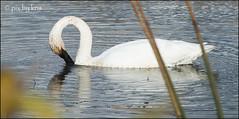 Swans 013 2017 (pixbykris) Tags: alaska alaskan birds swans beautiful