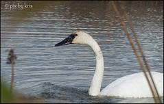 Swans 011 2017 (pixbykris) Tags: alaska alaskan birds swans beautiful