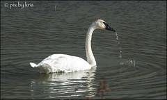 Swans 009 2017 (pixbykris) Tags: alaska alaskan birds swans beautiful