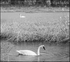 Swans 006 2017 (pixbykris) Tags: alaska alaskan birds swans beautiful