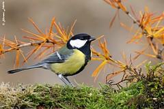 Cinciallegra (silvano fabris) Tags: nature canonphotography wildlifephotography photonature animals animali uccelli birds cinciallegra