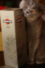 Antonio (Сonstantine) Tags: animals antonio british britishcats britishcat catslife cat catsoftheworld catscatscats cute meowmeow meow meowbox photo pic