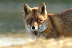 Rotfuchs (Vulpes vulpes) (hotte54) Tags: wildlife jürgen red fox fuchs vulpes vulpesvulpes rotfuchs juergen naturepicturede ngc mammals