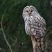 Strix uralensis (Ural Owl, Uralinė pelėda)
