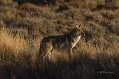 IMG_1379 coyote (starc283) Tags: coyote starc283 predator canine wild nature naturesfinest naturewatching