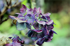 hydrangea............autumn (atsjebosma) Tags: hortensia hydrangea flower bloem autumn herfst atsjebosma garden tuin groningen thenetherlands november 2019 coth5 ngc npc