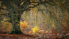 Autumnal Fountain (tobchasinglight) Tags: beechtrees marlborough oaktrees savernake savernakeforest silverbirch trees uk wiltshire woodland ©paulmitchell